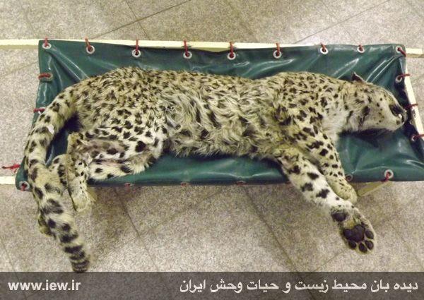 سرنوشت مشابه پلنگ شیراز و پلنگ خرمآباد/  پلنگ شیراز هم تلف شد