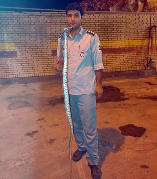 مار سمی يك و نيم متري از منزل مسكونی در خرمآباد بيرون كشيده شد + عكس